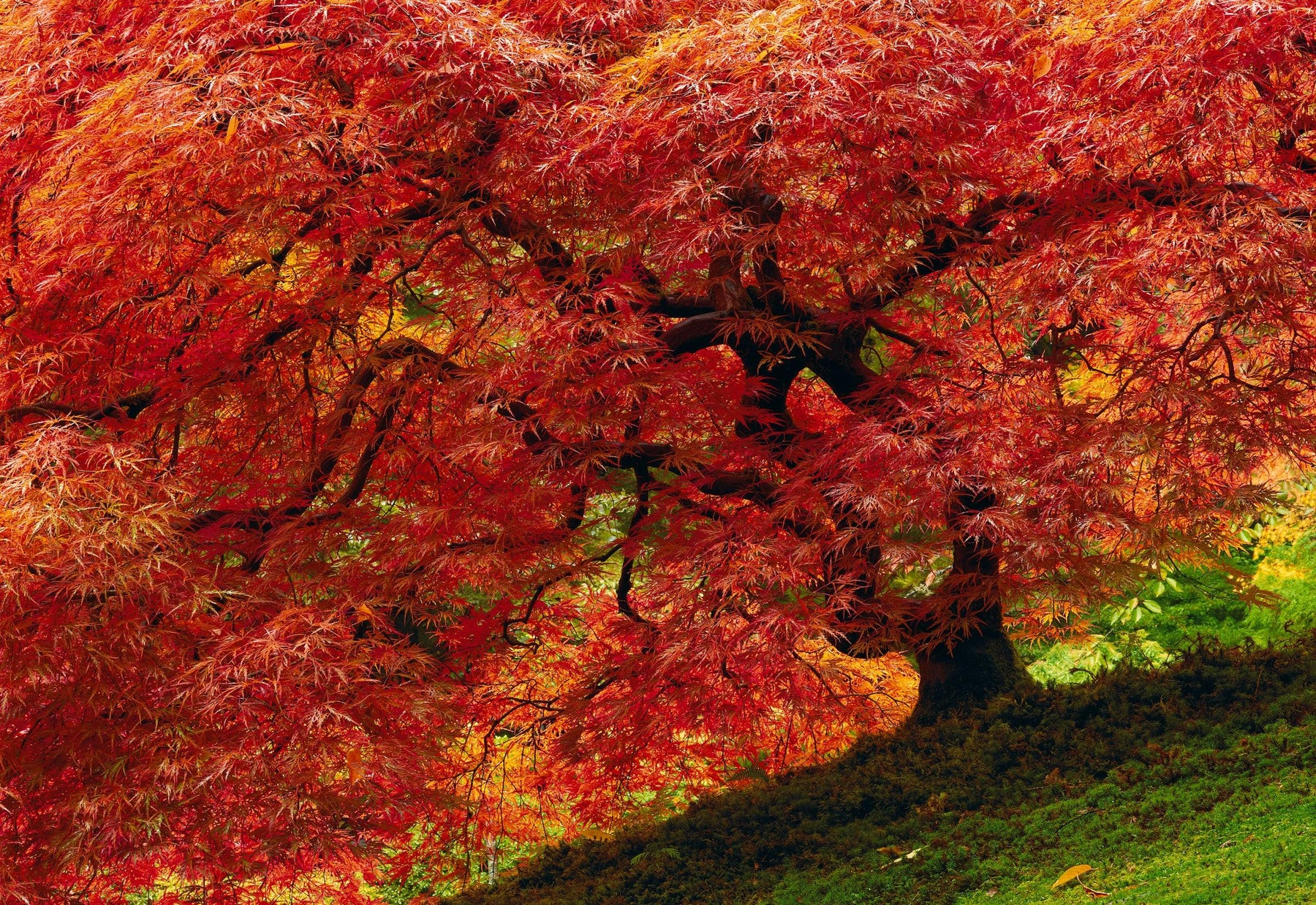 Japanese Maple tree filled with red leaves on a green moss hill in Oregon