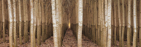 Close up of straight rows of brown and white poplar trees in Boardman Oregon