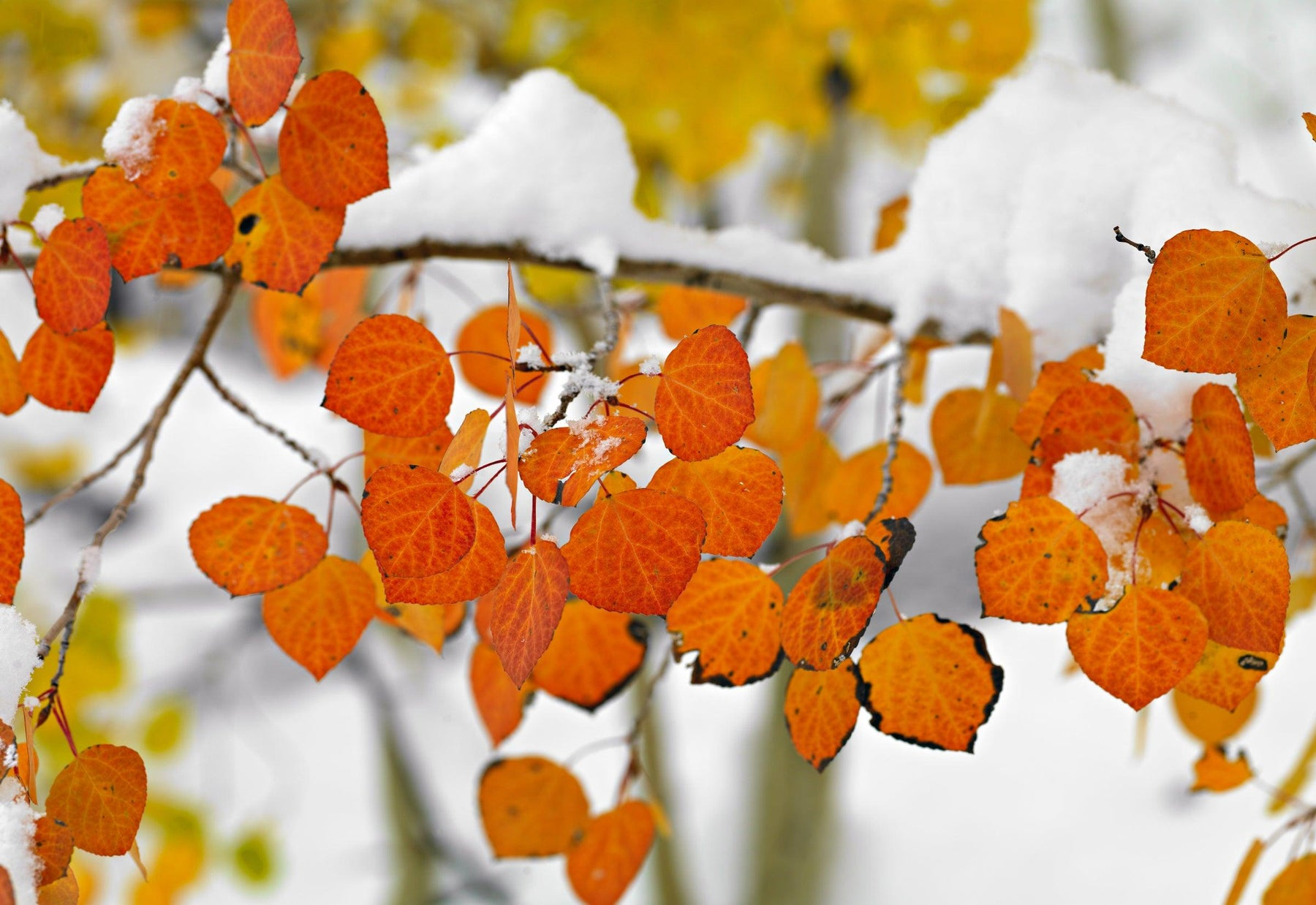 Close up of a snow covered branch with orange leaves in Colorado
