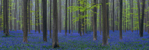 Forest with bright green leaves in Brussels Belgium filled with purple wildflowers