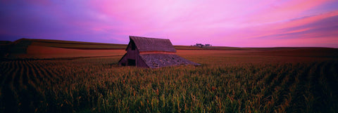 Old wooden barn in a field of tall corn rows in Gunthrie Center Iowa during a pink sunset