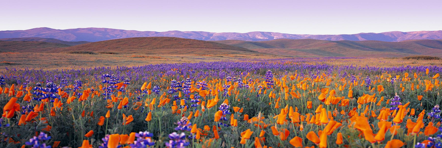 Orange and purple poppy fields along the rolling hills of Carrizo Plain National Park California