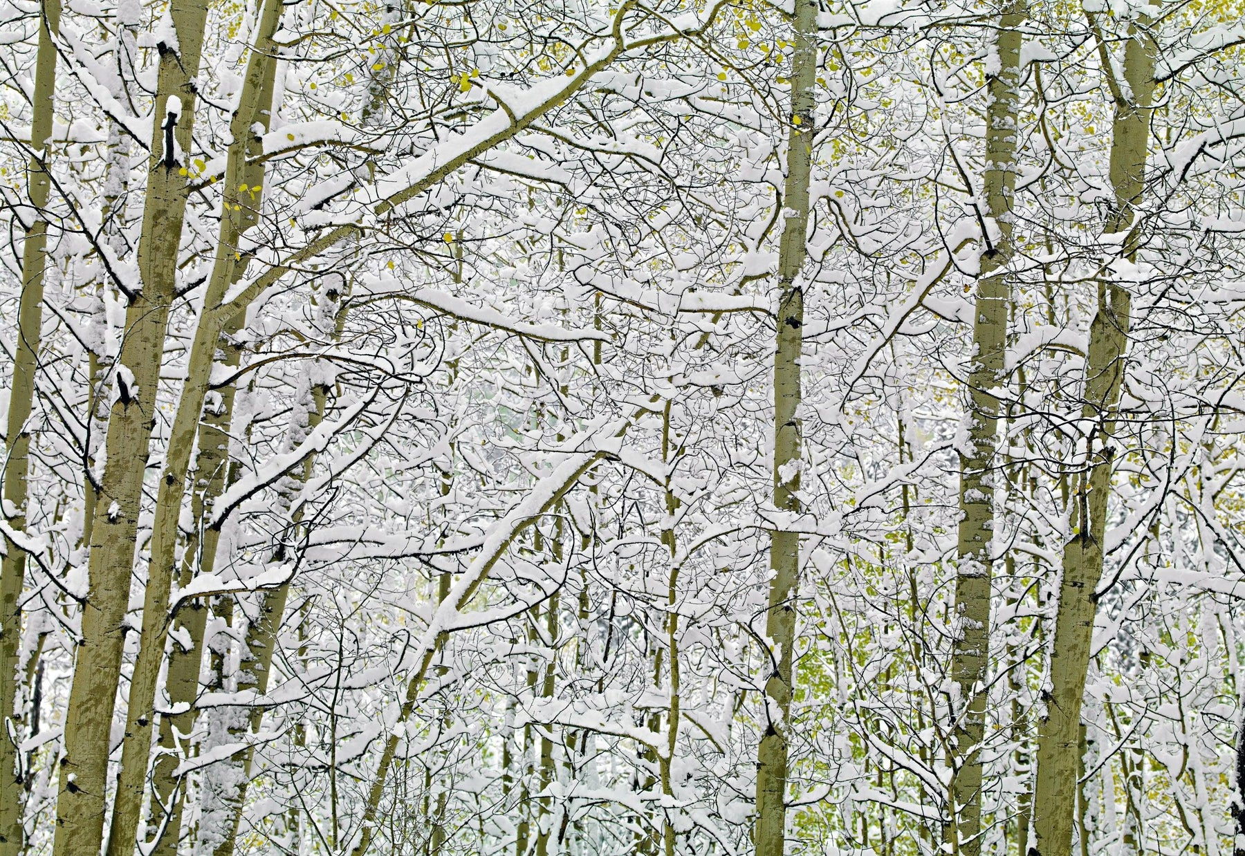 Snow covered Birch tree forest in Colorado