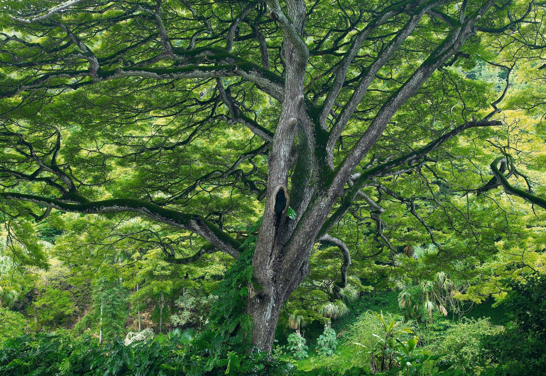 Moss covered tree with branches and green leaves filling the canopy above in Hawaii