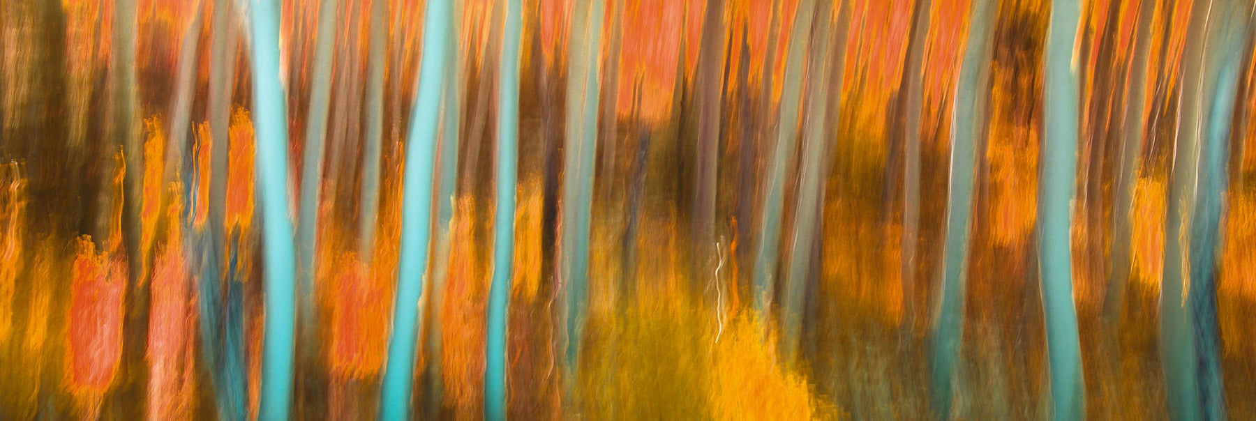 Blurred forest of orange birch trees in Colorado
