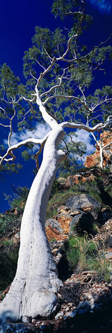 White gum tree on the rocky mountainside in the West Macdonnel Ranges, Australia