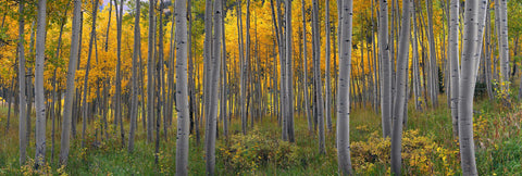 Forest of white aspen trees covered with yellow leaves in Aspen Colorado