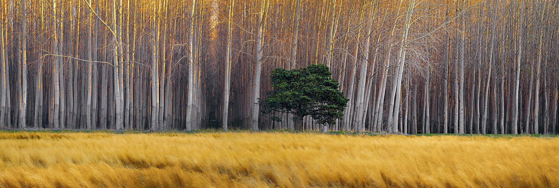 Green tree in a yellow grass field in front of a forest of leafless white poplar trees