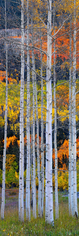 Section of white birch trees in a grass field surrounded by an Autumn colored forest in Aspen Colorado