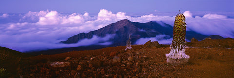 A silver Sword Cactus sitting atop the mountain of Haleakala Hawaii looking down at the cloud filled sky