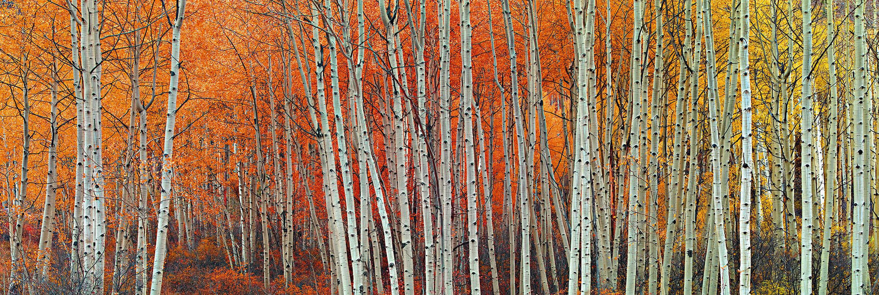 Forest of white birch trees covered with yellow and orange leaves in Aspen Colorado