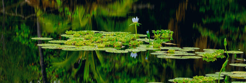 Lilly pads and a flower floating in a pond with reflections from the tropical rainforest in Hawaii