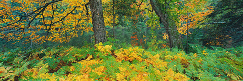 Yellow and green ferns below two trees in front of the Androscoggin River New Hampshire