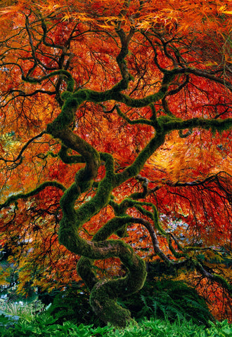 Japanese Maple tree covered with moss and full of red and orange leaves growing in a patch of ferns in Oregon
