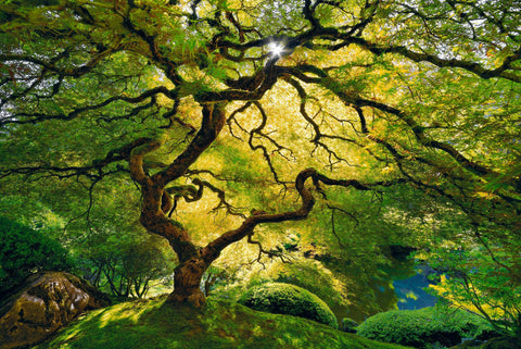 Japanese Maple tree filled with green and yellow leaves in front of a pond in Oregon