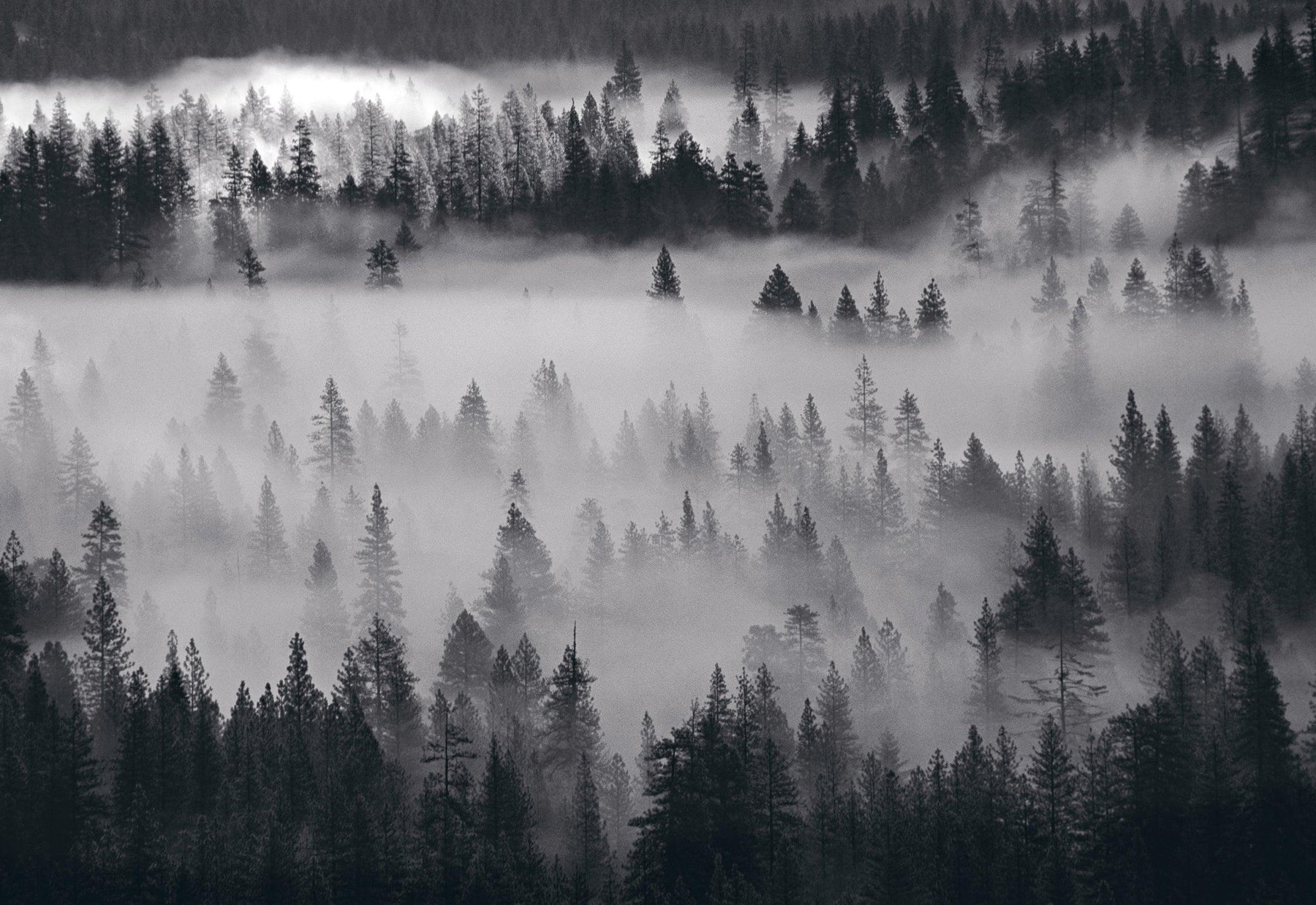 Black and white pine tree forest of Yosemite National Park California filled with mist