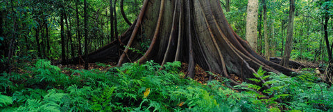 The base and root system of a giant stinging tree in the middle of the rainforest in Dorrigo National Park Australia