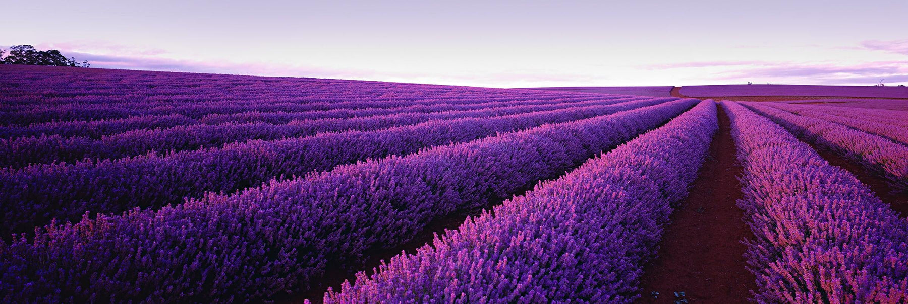 Endless field of purple lavender bushes in Tasmania, Australia