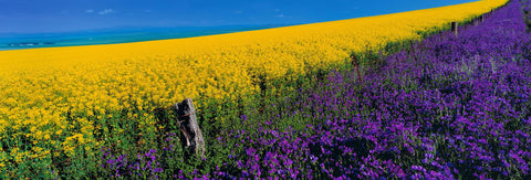 Wood and barb wire fence separating a yellow and violet flower fields in Burra Australia