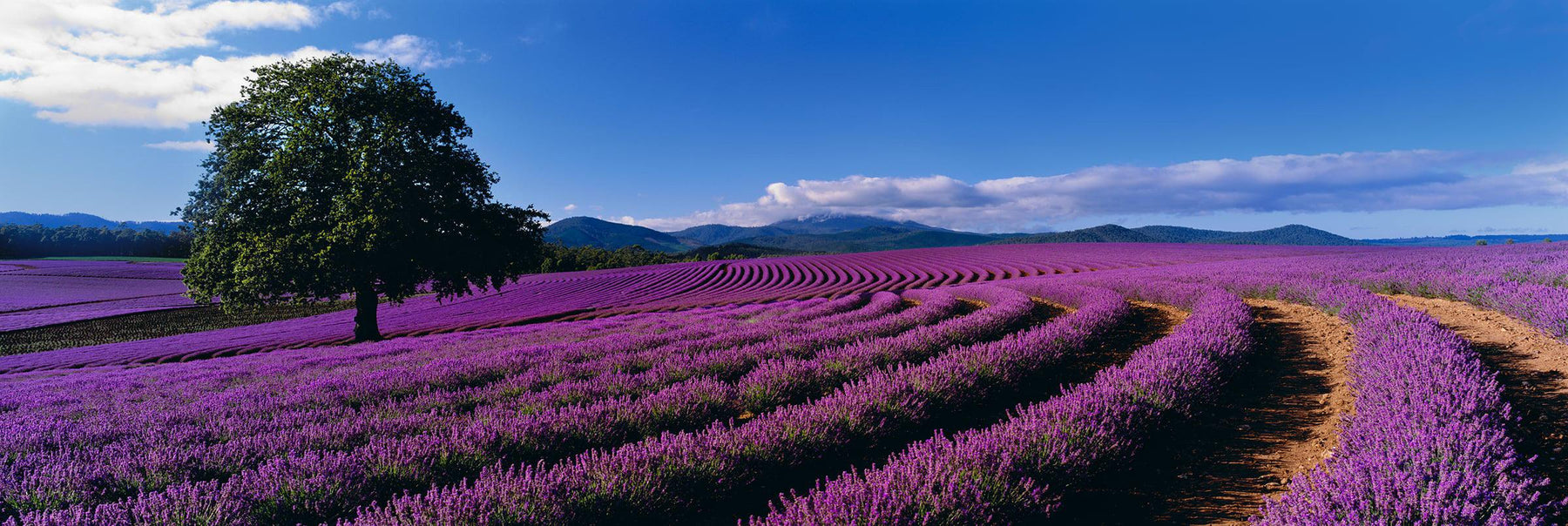 Large tree standing in the middle of rows of lavender bushes in Tasmania Australia