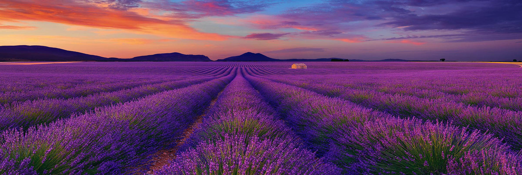Purple rows of lavender leading to a shack and mountains under a cloudy sky at sunset in Valensole France
