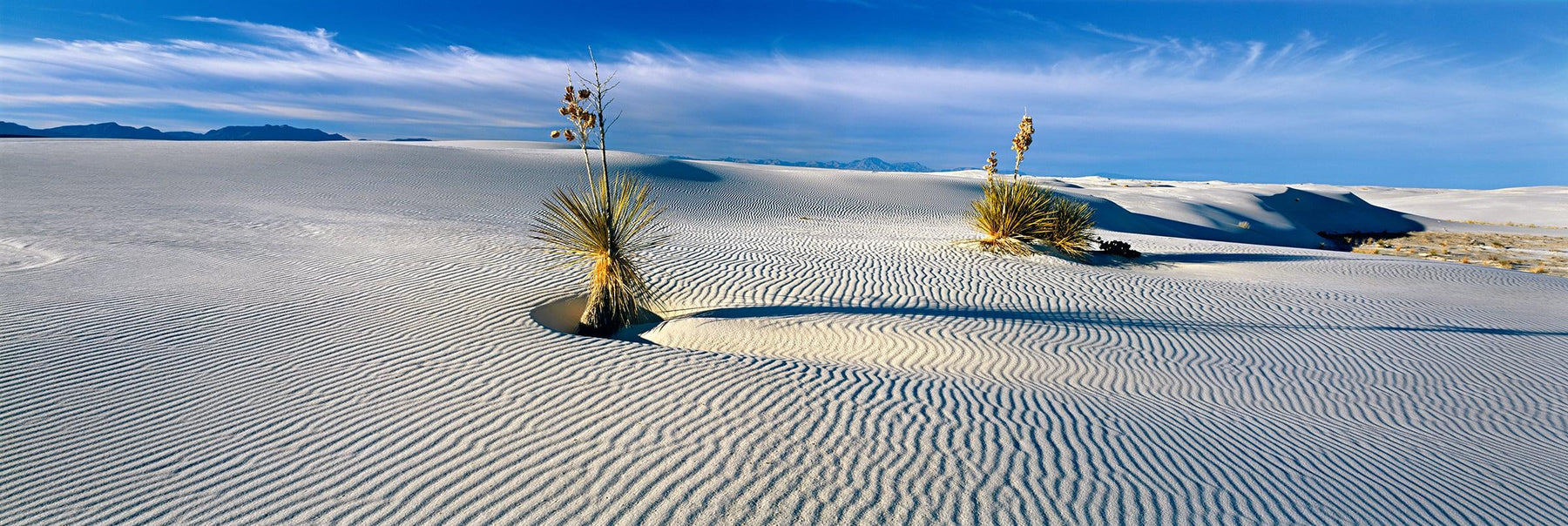 Two Yucca plants growing in the windswept  sand dunes of White Sand Dunes National Monument New Mexico