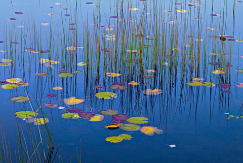 Colorful lily pads and grass reed in a pond at Acadia National Park Maine
