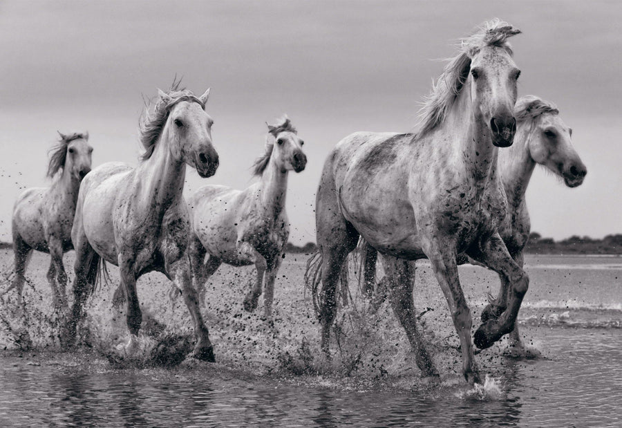 Black and white five white horses running through the shallow waters of Camargue France at dusk