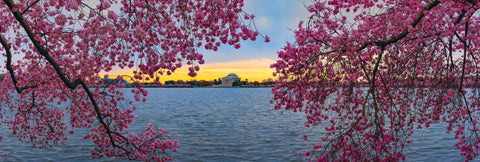 Branches covered in cherry blossoms reaching over the water in front of the Thomas Jefferson Memorial in Washington DC