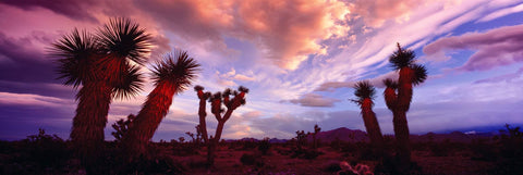 Joshua trees and bushes in the desert near Mt. Charleston Nevada at sunset