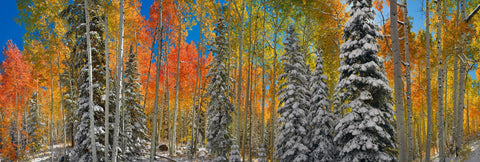 Snow covered pine trees in an Autumn colored forest in Aspen Colorado