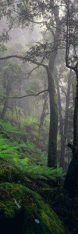 Misty rainforest filled with trees mossy boulders and foliage in the Dorrigo National Park Australia