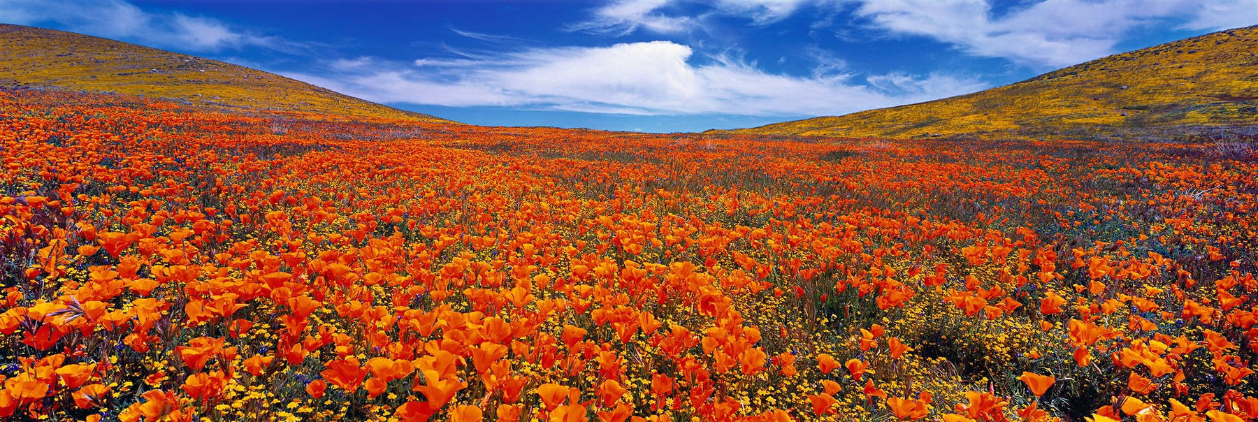 Rolling orange and yellow poppy fields of Antelope Valley Poppy State Reserve California