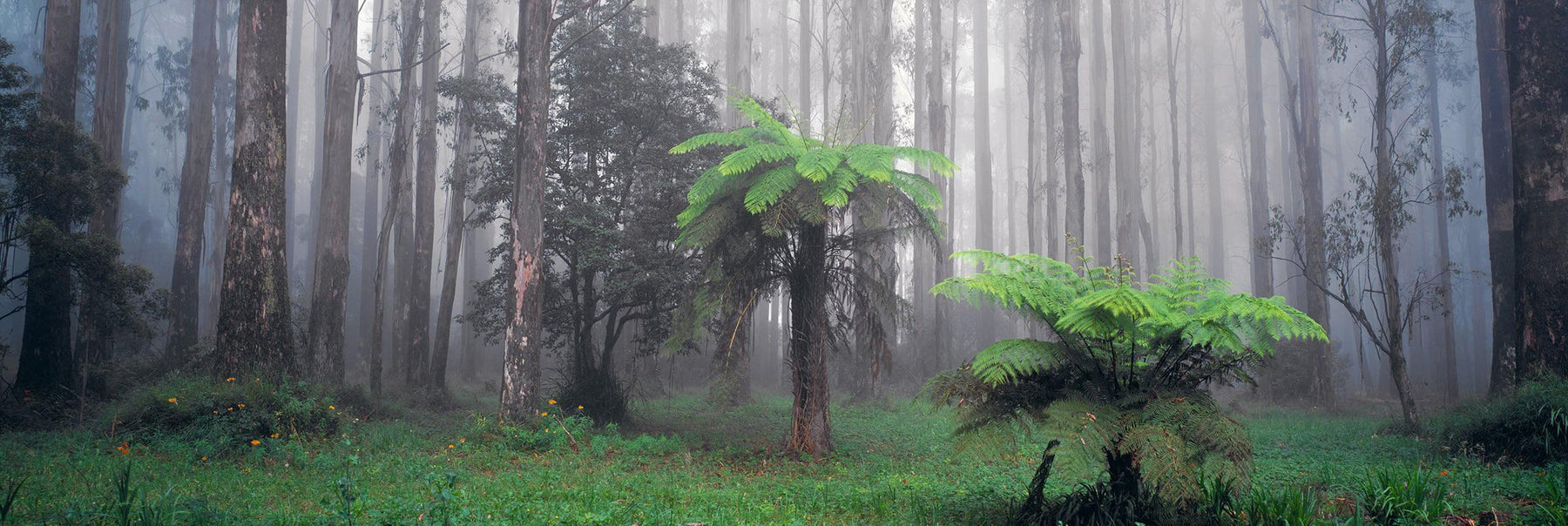 Mist filled tropical forest in the Dandenong Mountain Ranges of Australia