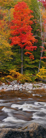 River running in front of a red tree and Autumn forest in White Mountain National Forest New Hampshire