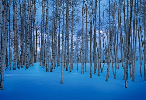 Moon lighting up a snow covered forest of birch trees in Telluride Colorado
