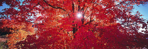 Sunburst shining through a red leaf tree with black branches in Ogden Valley Utah