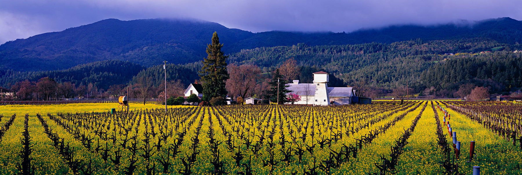 Vineyard with rows of grape plants in Napa California surrounded by mustard flowers in Spring