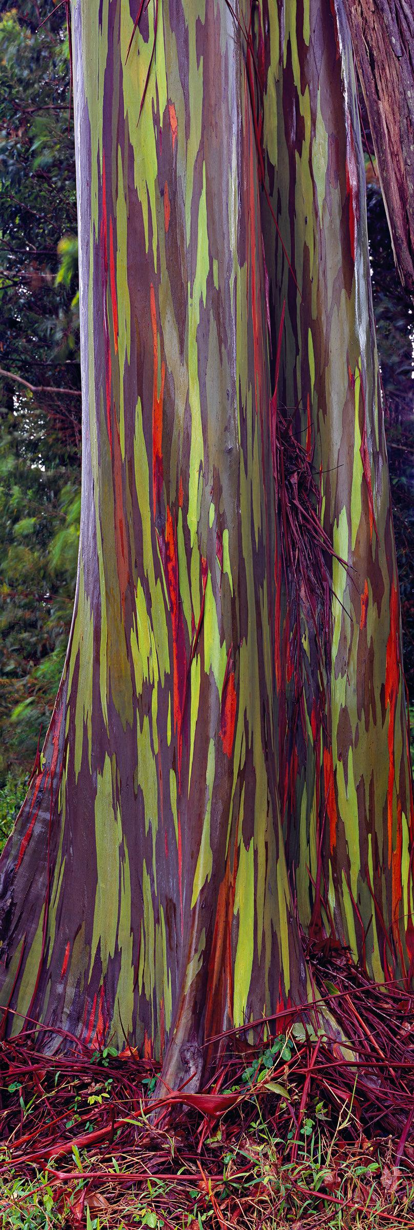 Close up of a rainbow Eucalyptus tree in Maui Hawaii