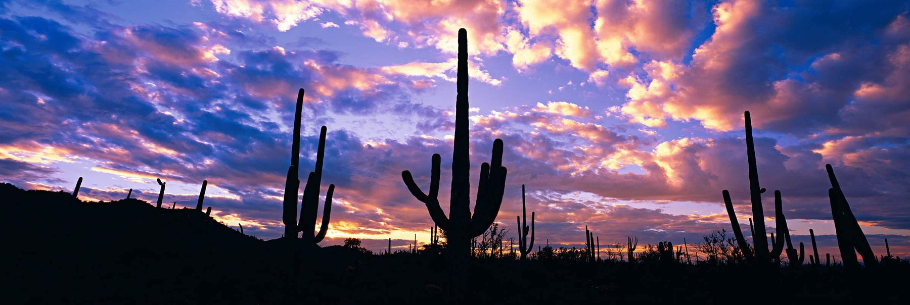 Cactus silhouettes during a cloudy sunset in the desert of Saguaro National Park Arizona