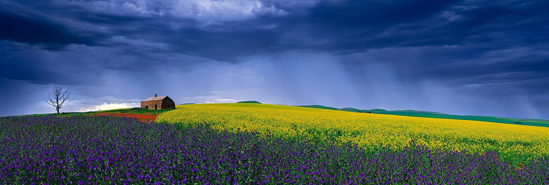 Old shack sitting in the middle of a purple and yellow flower covered field in Burra Australia