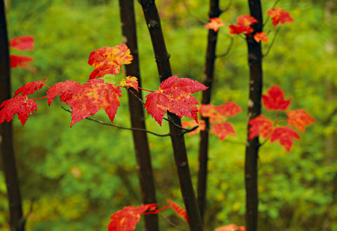 Close up of red leaves on black branches in front of blurred green foliage  in White Mountain National Forest New Hampshire