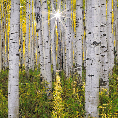 Sun shining through the yellow canopy and white trunks of a birch forest