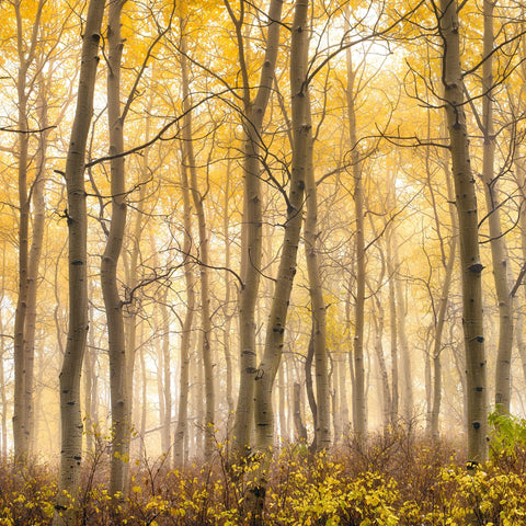 Misty white birch tree forest covered in yellow leaves in Aspen Colorado