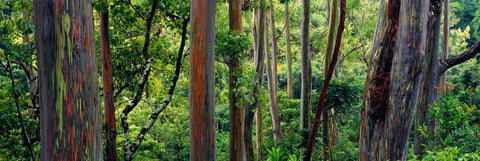 Rainbow Eucalyptus forest along the road to Hana Hawaii