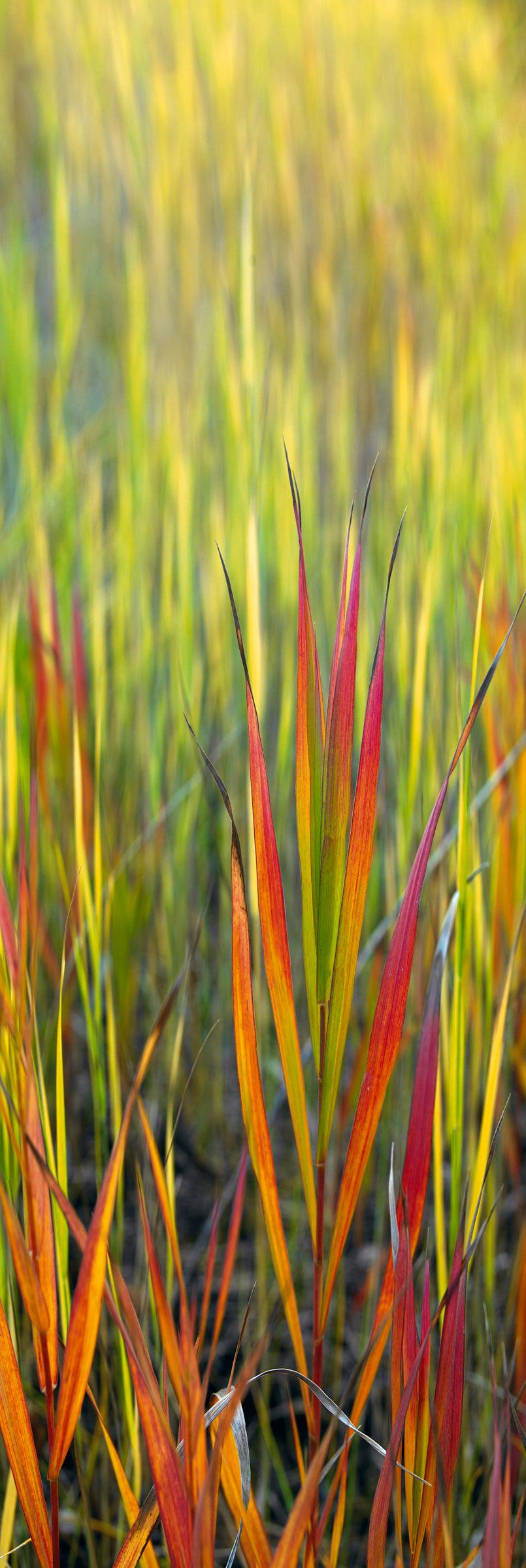 Close up of orange red and green blades of grass in Grand Teton National Park Wyoming