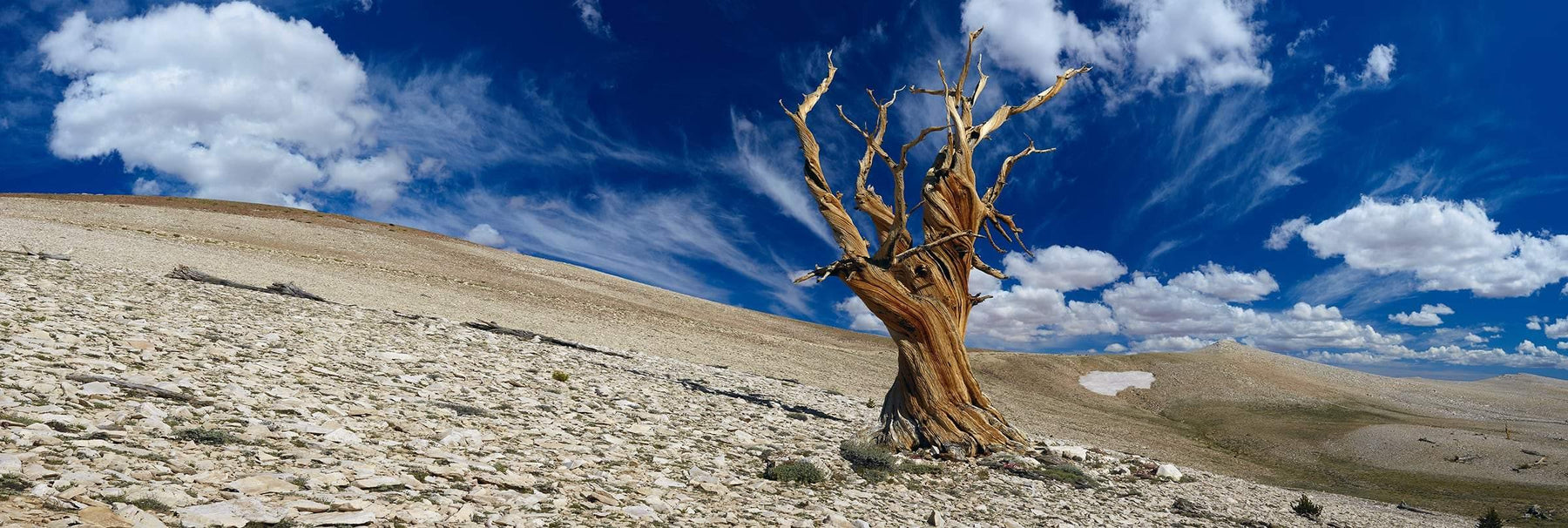 Old leafless bristlecone tree on a rocky hillside beneath blue cloudy skies in White Mountains California