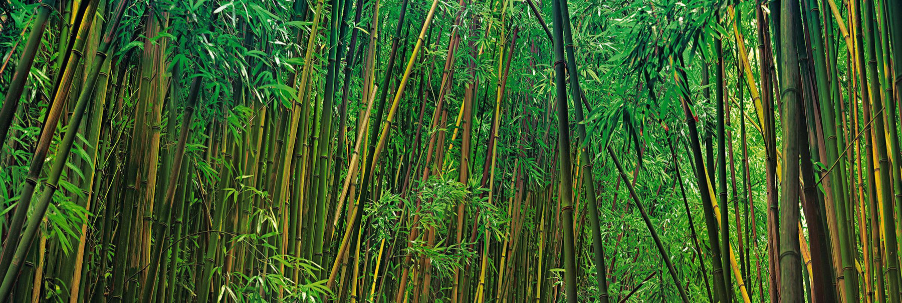 Walls of green and yellow bamboo in the rainforest of Hana Hawaii