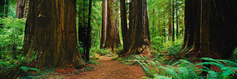 Pathway through the Giant Redwood forest in Muir Woods California