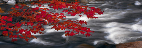 Branch of red maple leaves hanging over the rushing water of a river in Telluride Colorado